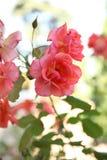 Rosas de florescência no jardim Fotos de Stock Royalty Free