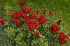 Rosas de florescência no jardim imagem de stock