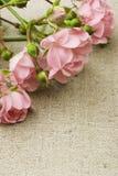 Rosas de hadas fotografía de archivo libre de regalías