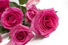 Rosas de la belleza Imagen de archivo libre de regalías