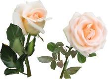 Rosas de la crema ligera dos flores con las hojas verdes imágenes de archivo libres de regalías