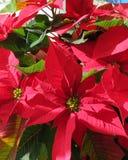 Rosas de la Navidad Fotografía de archivo