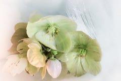 Rosas de la Navidad que florecen en la nieve en primer foto de archivo libre de regalías