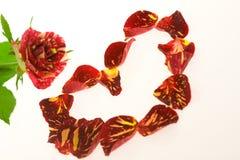 Rosas de la pasión, del amor y de los celos Fotografía de archivo libre de regalías