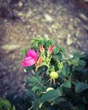Rosas de la playa fotos de archivo