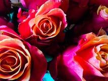 Rosas de la puesta del sol Fotos de archivo
