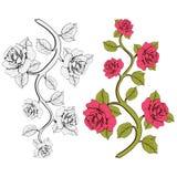Rosas de la rama de la flor Sistema de ramas rosadas y blancas Impresión floral Fotografía de archivo