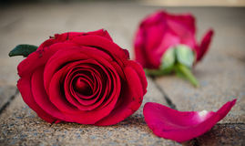 Rosas de las tarjetas del día de San Valentín Fotografía de archivo