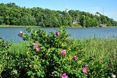 Rosas de Nype en Helsinki, Finlandia Fotos de archivo
