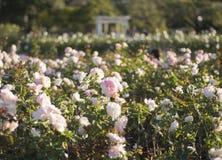 Rosas de Palermo fotografia de stock
