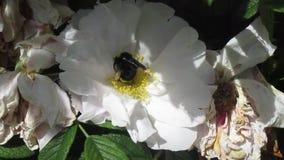 Rosas de polinización y flores del abejorro colorido atractivo brillante a principios de verano en la reina Elizabeth Park Rose G metrajes