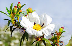 Rosas de roca de la goma - ladanifer del Cistus Imagen de archivo libre de regalías
