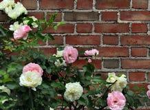 Rosas de rosado y de blanco con el fondo del ladrillo Foto de archivo libre de regalías