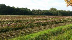 Rosas de Rozen Imagens de Stock Royalty Free