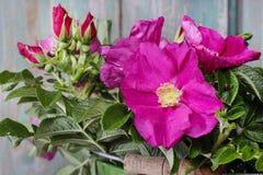 Rosas de Rugosa (el rugosa de Rosa, la rosa del japonés, o Ramanas subieron) Imagenes de archivo