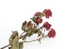 Rosas de secagem da filial Fotografia de Stock Royalty Free