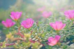 Rosas de Sun na luz suave Foto de Stock