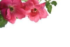 Rosas de té antiguas aisladas en el fondo blanco Foto de archivo