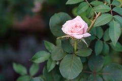 Rosas de té en el fondo verde en el jardín Fotos de archivo libres de regalías