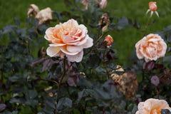 Rosas de té hermosas Foto de archivo
