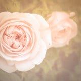 Rosas de té rosado Fotos de archivo