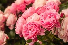 Rosas de té rosado en la floración Fotos de archivo libres de regalías