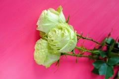 Rosas de té verde en un fondo rosado brillante fotos de archivo libres de regalías