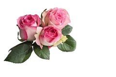 Rosas de tres rosa y blanco con las hojas aisladas en blanco fotos de archivo