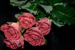 Rosas de uma cor multi-colorida bonita em um fundo escuro polvilhado com as gotas da ?gua imagens de stock