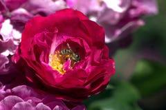 Rosas de Wild Blue Yonder Fotos de archivo