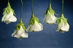 Rosas del azúcar fotografía de archivo libre de regalías