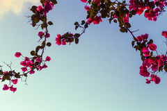 Rosas del cielo Foto de archivo libre de regalías