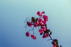 Rosas del cielo Fotografía de archivo libre de regalías