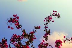Rosas del cielo Imágenes de archivo libres de regalías