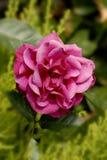 Rosas del color rojo Imágenes de archivo libres de regalías