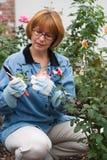Rosas del corte de la mujer en jardín Fotografía de archivo