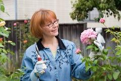 Rosas del corte de la mujer en jardín Fotografía de archivo libre de regalías