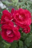 Rosas del escarlata Foto de archivo