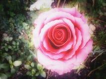 Rosas del fantasma Imágenes de archivo libres de regalías