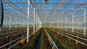 Rosas del invernadero que crecen bajo luz del día almacen de video