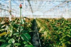 Rosas del invernadero que crecen bajo luz del día Fotos de archivo libres de regalías