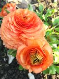 Rosas del jardín Fotos de archivo