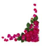 Rosas del marco Fotos de archivo