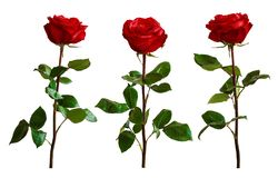 Rosas del rojo o del escarlata con las hojas verdes Backgrou aislado, blanco Fotografía de archivo