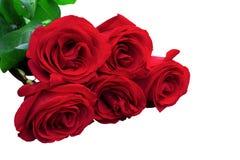 Rosas del rojo o del escarlata con las hojas verdes Backgrou aislado, blanco Imagen de archivo