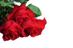 Rosas del rojo o del escarlata con las hojas verdes Backgrou aislado, blanco Imágenes de archivo libres de regalías