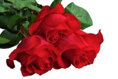 Rosas del rojo o del escarlata con las hojas verdes Backgrou aislado, blanco Fotos de archivo
