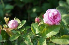 Rosas del rosa de jardín Foto de archivo libre de regalías