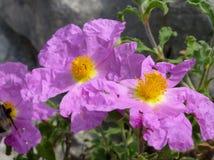 Rosas del rosa salvaje con los corazones amarillos en primavera Foto de archivo libre de regalías
