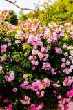 Rosas del rosa salvaje en jardín de la casa del pueblo Foto de archivo libre de regalías
